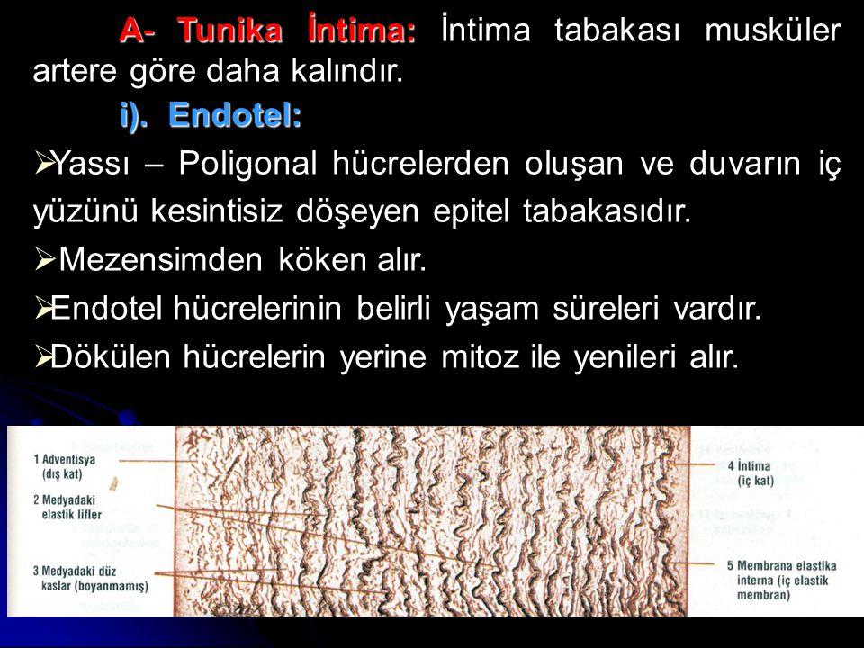 A- Tunika İntima: İntima tabakası musküler artere göre daha kalındır.