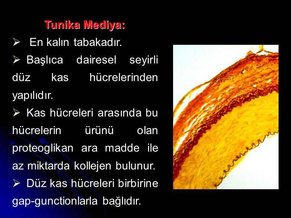 Tunika Mediya: En kalın tabakadır. Başlıca dairesel seyirli düz kas hücrelerinden yapılıdır.