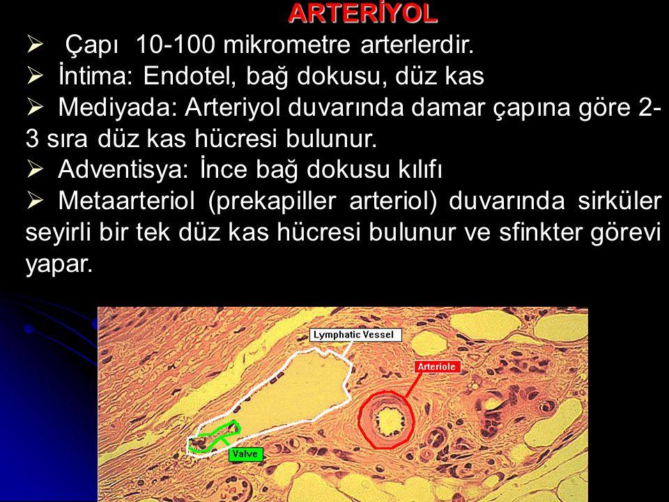 ARTERİYOL Çapı 10-100 mikrometre arterlerdir. İntima: Endotel, bağ dokusu, düz kas.
