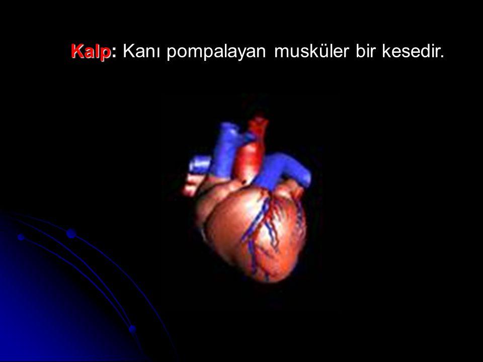 Kalp: Kanı pompalayan musküler bir kesedir.