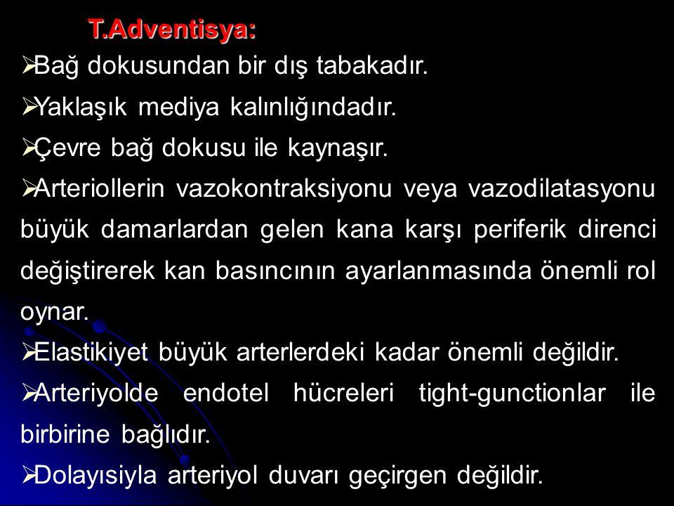 T.Adventisya: Bağ dokusundan bir dış tabakadır. Yaklaşık mediya kalınlığındadır. Çevre bağ dokusu ile kaynaşır.