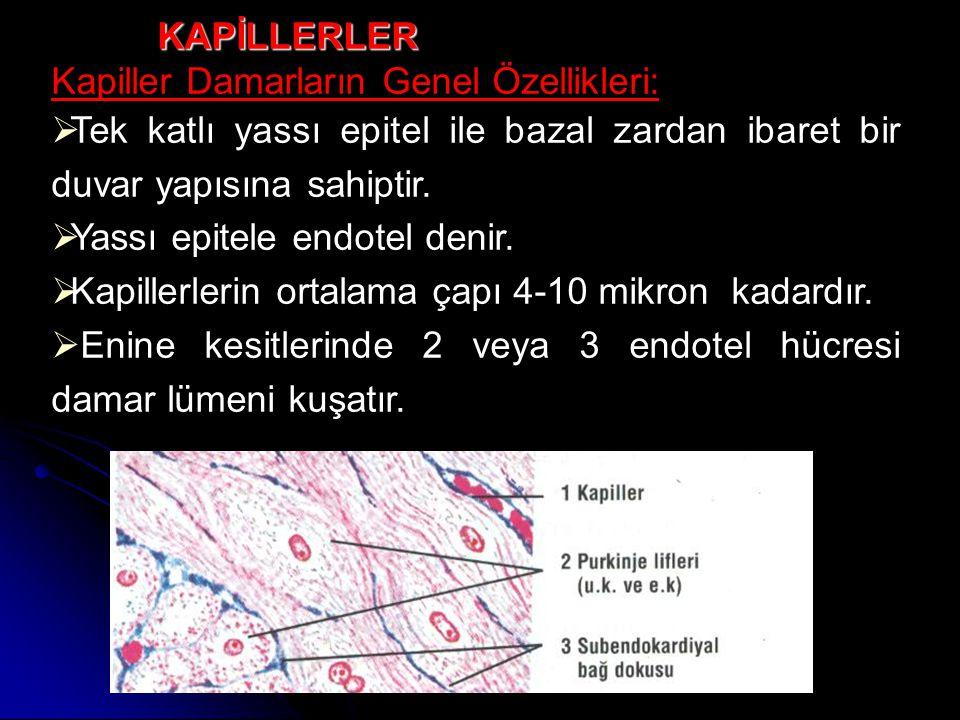 KAPİLLERLER Kapiller Damarların Genel Özellikleri: Tek katlı yassı epitel ile bazal zardan ibaret bir duvar yapısına sahiptir.