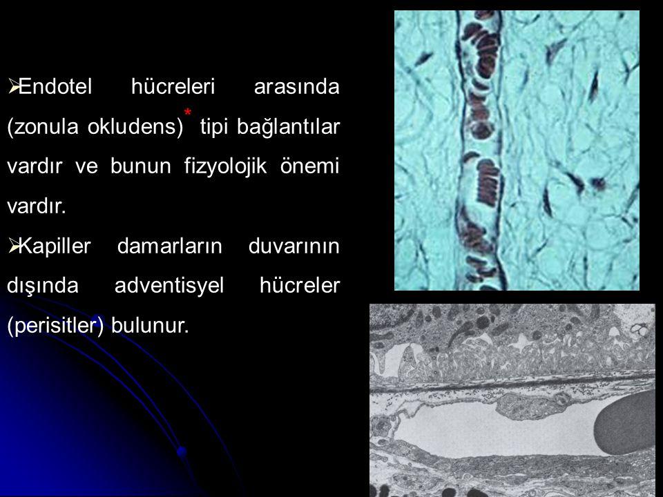 Endotel hücreleri arasında (zonula okludens)