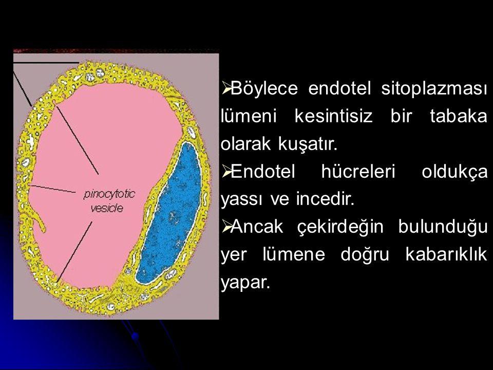 Böylece endotel sitoplazması lümeni kesintisiz bir tabaka olarak kuşatır.