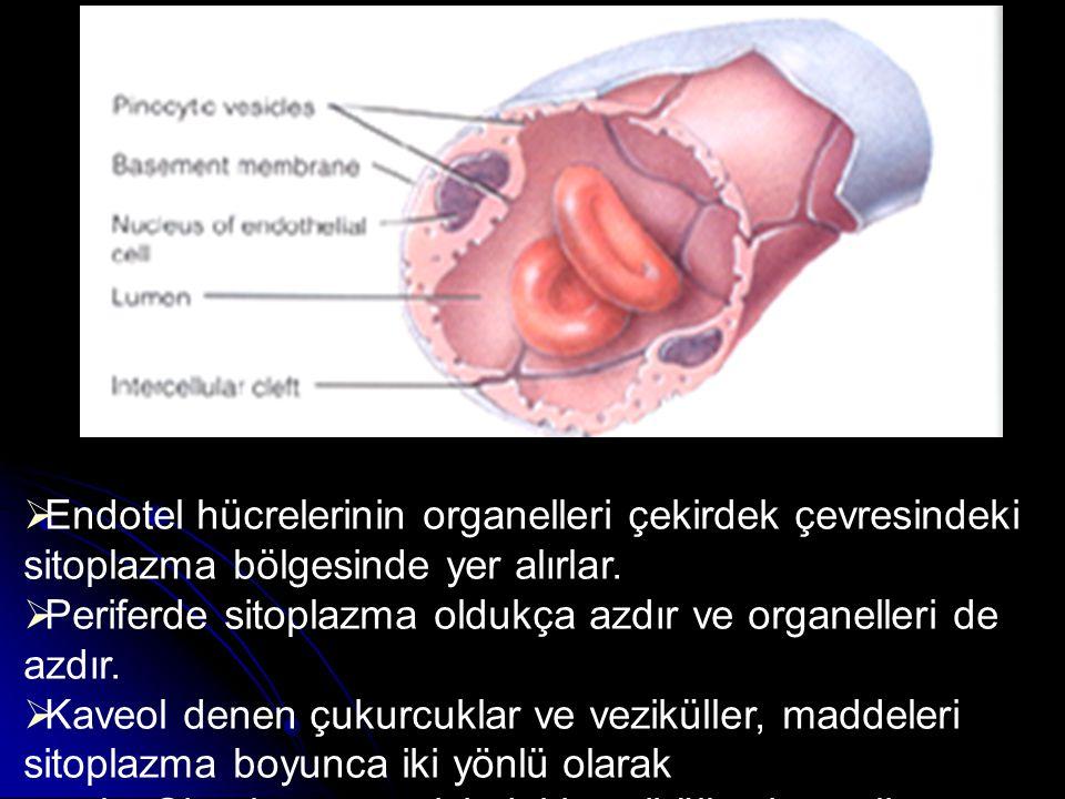 Endotel hücrelerinin organelleri çekirdek çevresindeki sitoplazma bölgesinde yer alırlar.