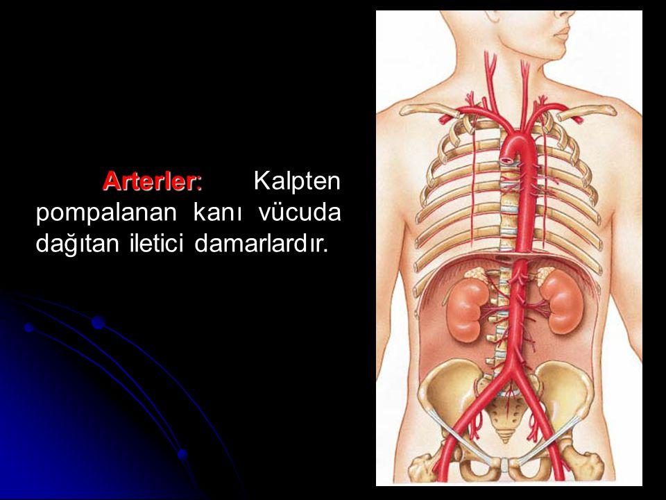 Arterler: Kalpten pompalanan kanı vücuda dağıtan iletici damarlardır.