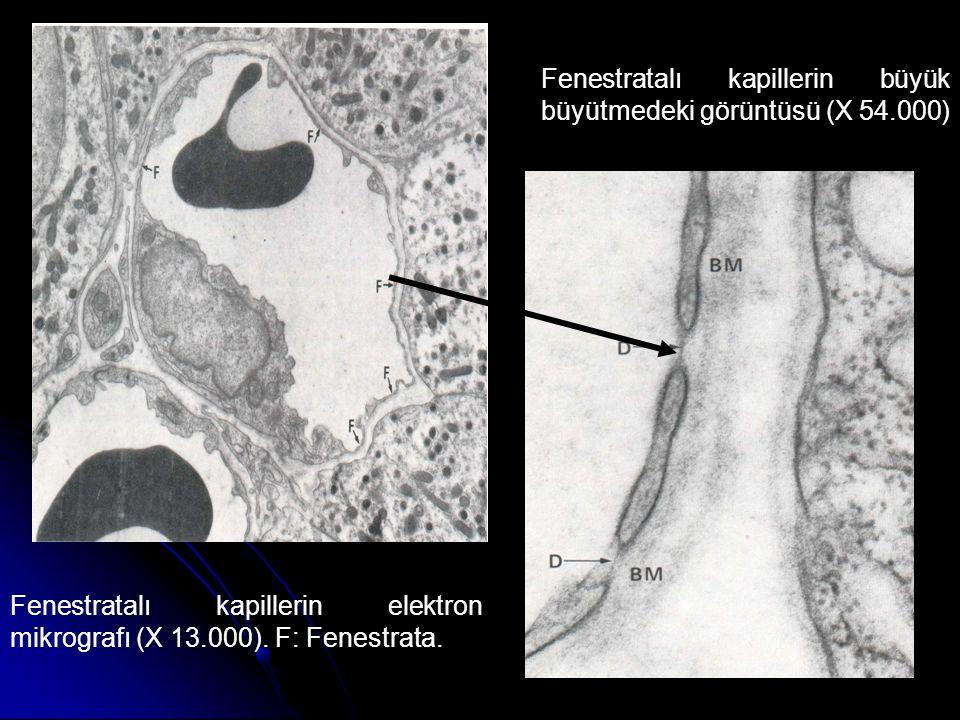 Fenestratalı kapillerin büyük büyütmedeki görüntüsü (X 54.000)