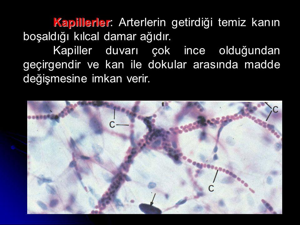 Kapillerler: Arterlerin getirdiği temiz kanın boşaldığı kılcal damar ağıdır.