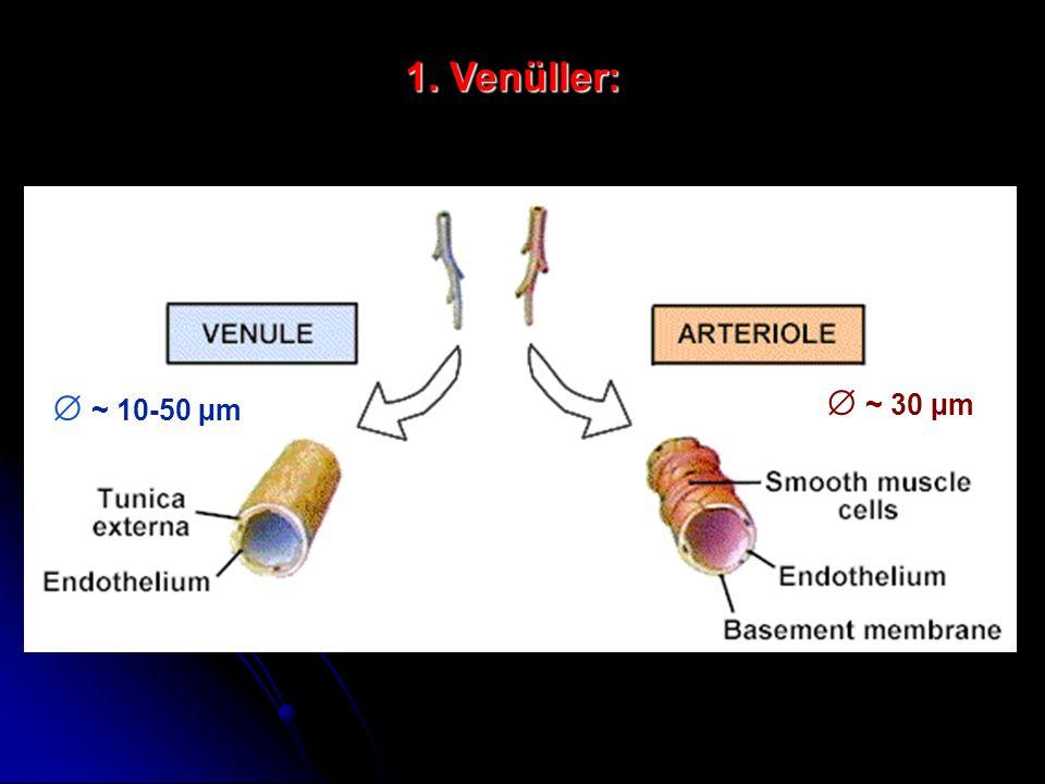 Venüller:  ~ 10-50 µm  ~ 30 µm