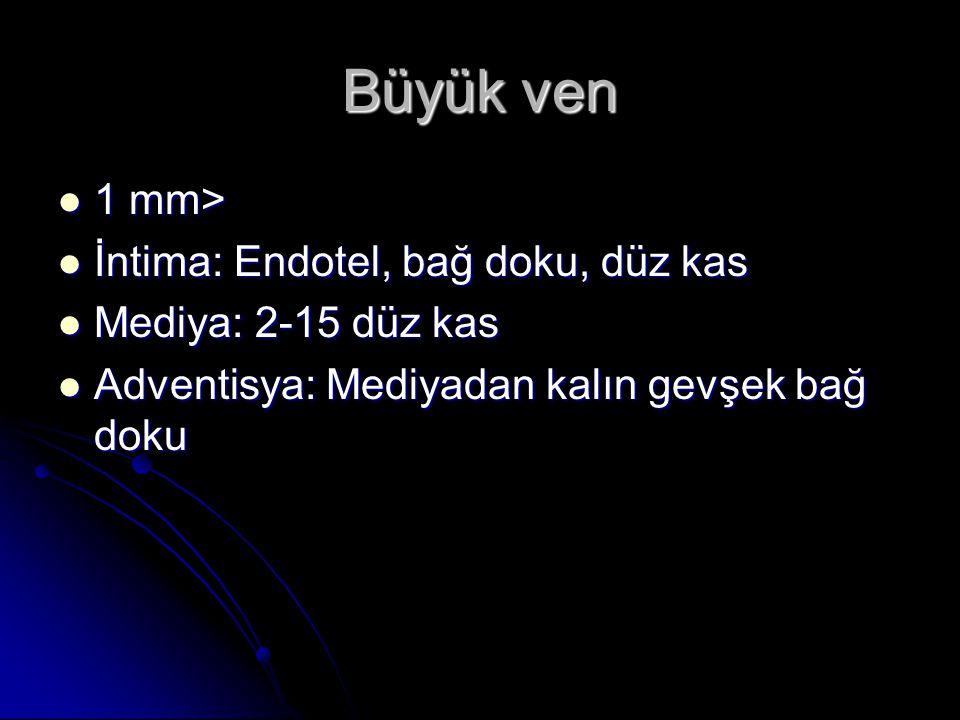 Büyük ven 1 mm> İntima: Endotel, bağ doku, düz kas