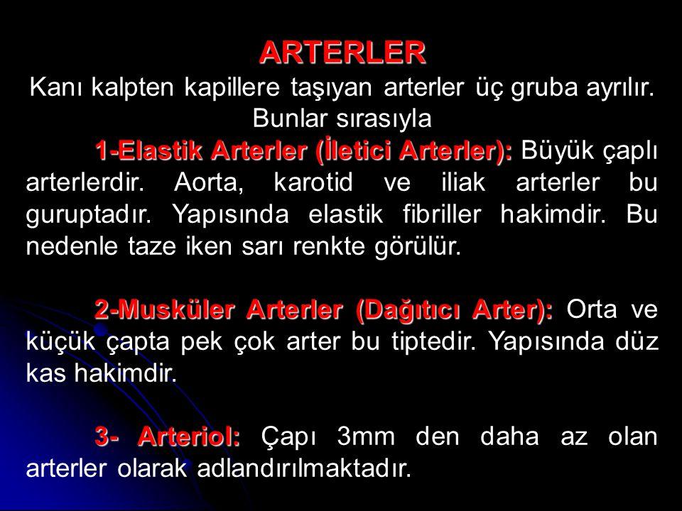 ARTERLER Kanı kalpten kapillere taşıyan arterler üç gruba ayrılır. Bunlar sırasıyla.