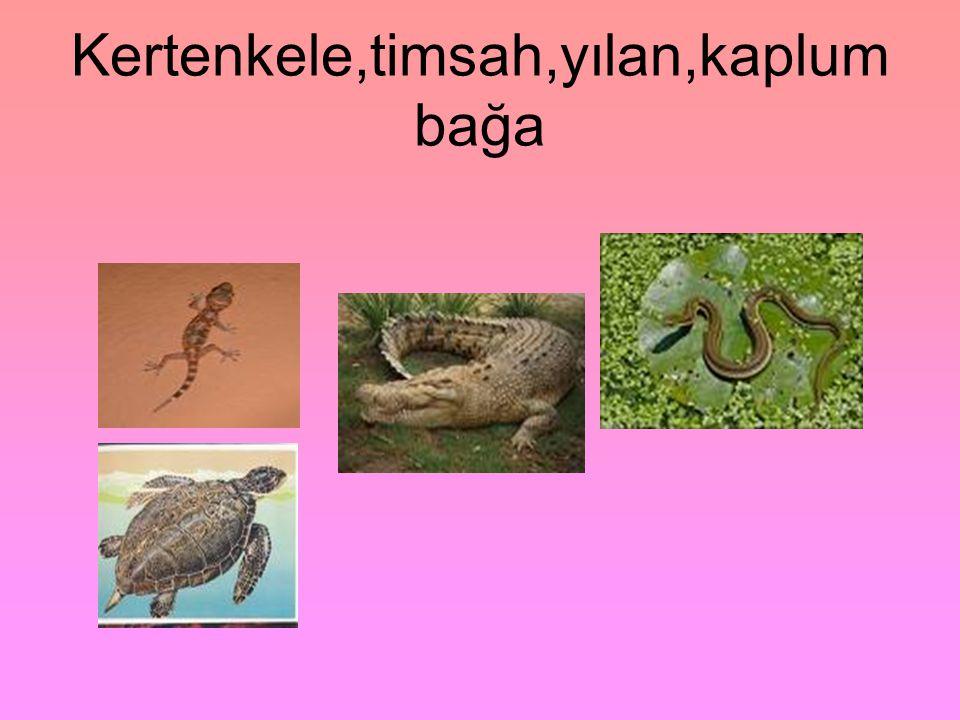Kertenkele,timsah,yılan,kaplumbağa