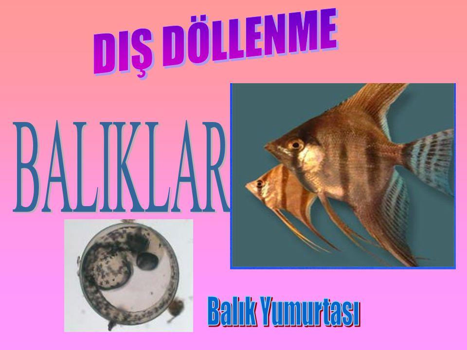 DIŞ DÖLLENME BALIKLARDA Balık Yumurtası