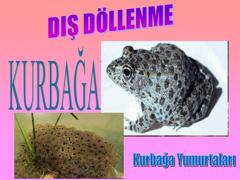 DIŞ DÖLLENME KURBAĞALARDA Kurbağa Yumurtaları