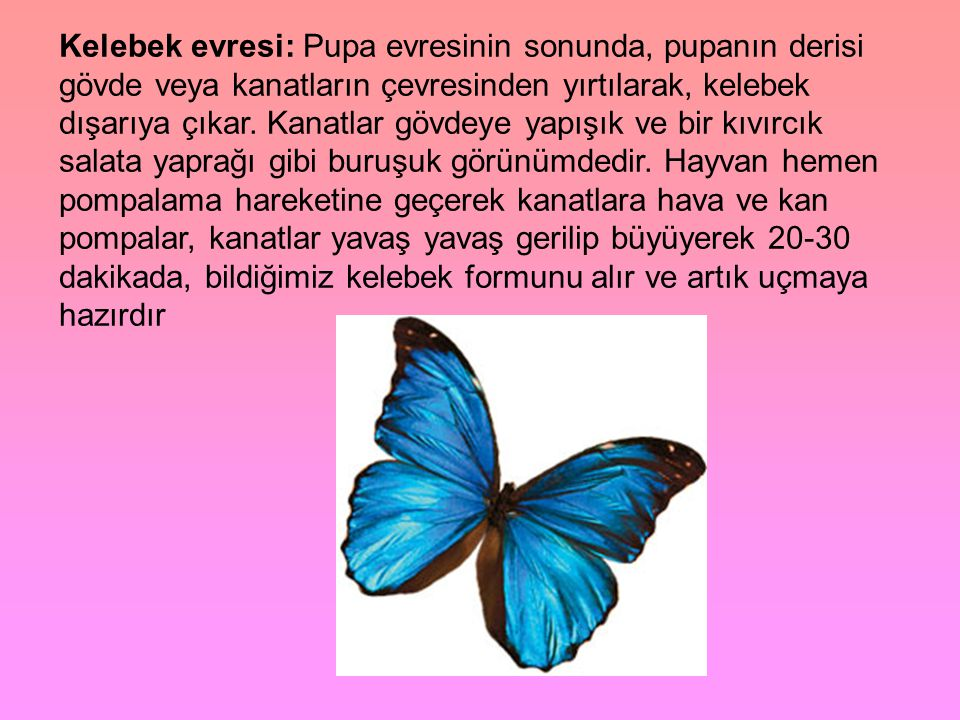 Kelebek evresi: Pupa evresinin sonunda, pupanın derisi gövde veya kanatların çevresinden yırtılarak, kelebek dışarıya çıkar.