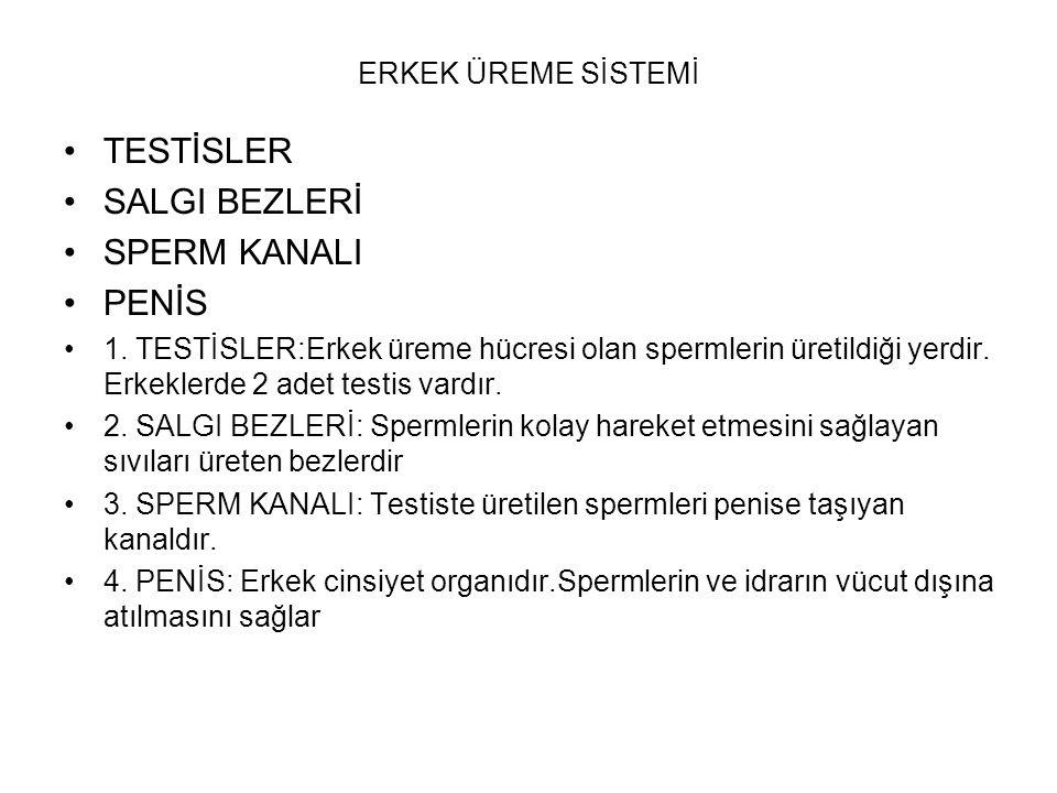 TESTİSLER SALGI BEZLERİ SPERM KANALI PENİS ERKEK ÜREME SİSTEMİ