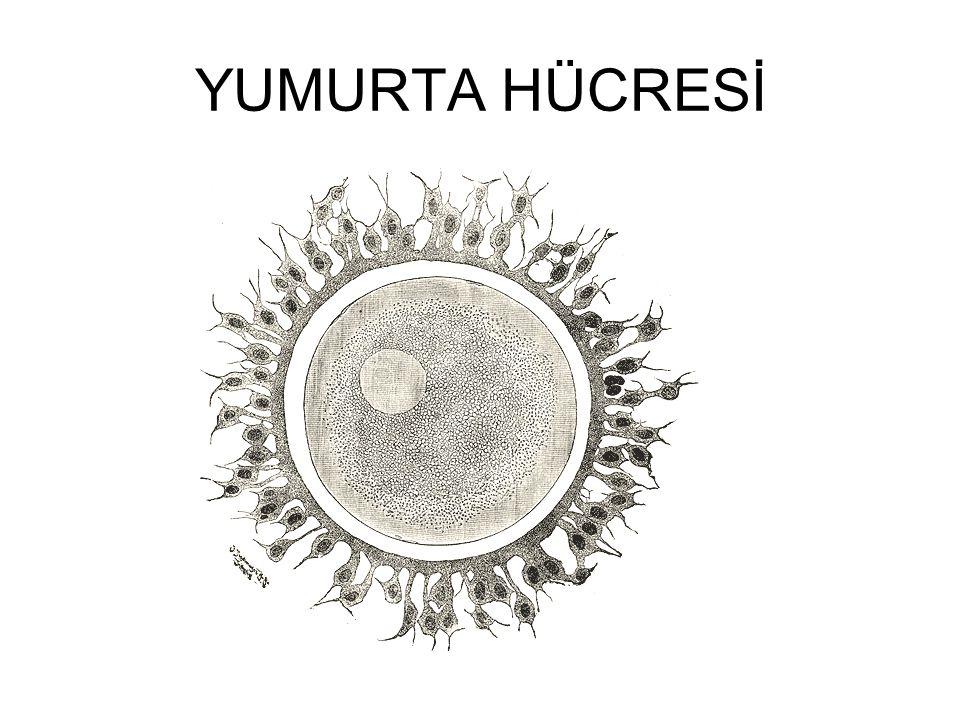YUMURTA HÜCRESİ