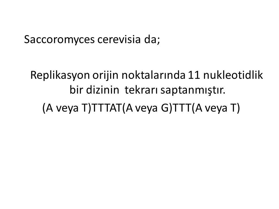 (A veya T)TTTAT(A veya G)TTT(A veya T)