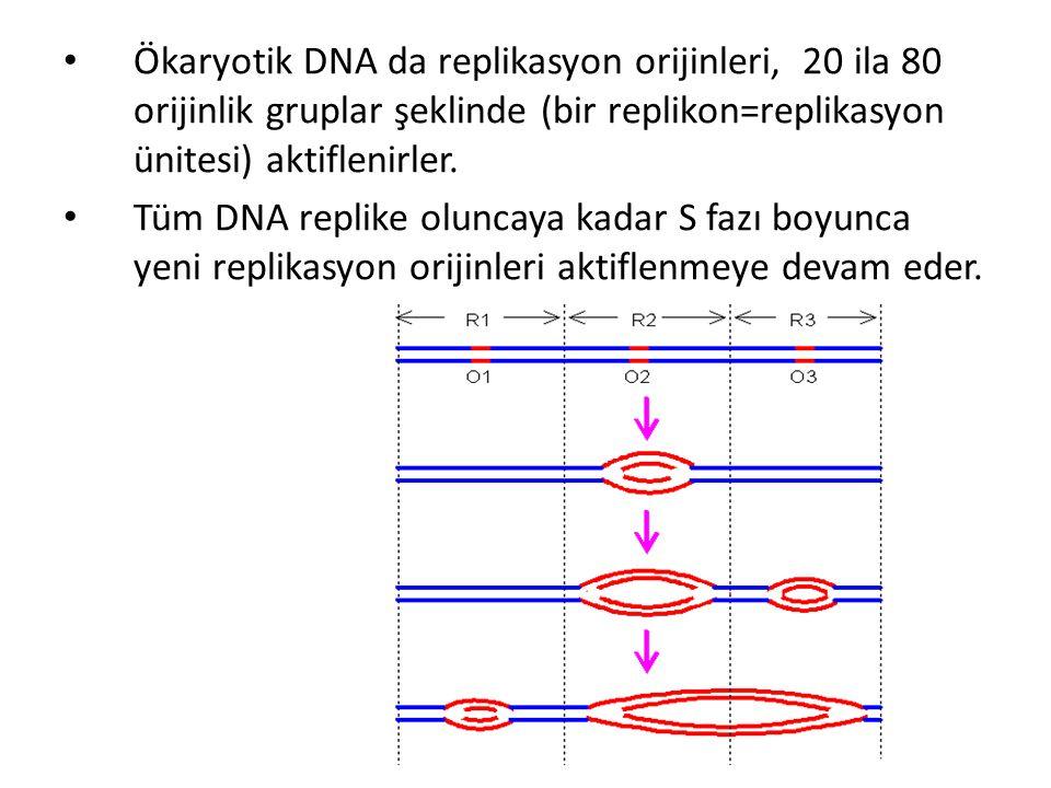 Ökaryotik DNA da replikasyon orijinleri, 20 ila 80 orijinlik gruplar şeklinde (bir replikon=replikasyon ünitesi) aktiflenirler.