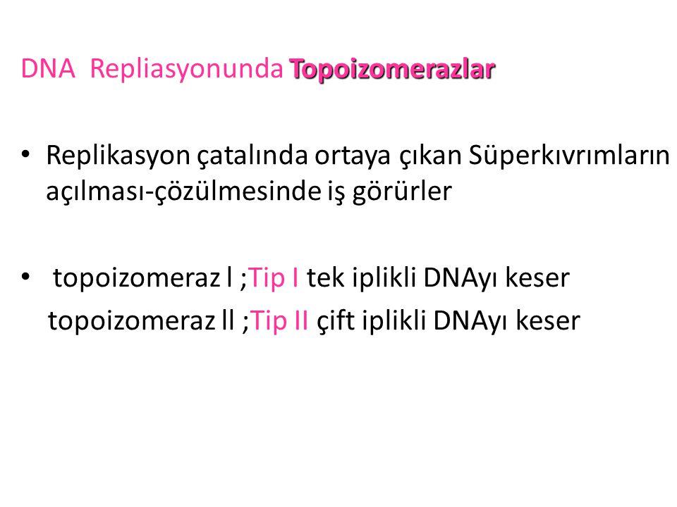 DNA Repliasyonunda Topoizomerazlar
