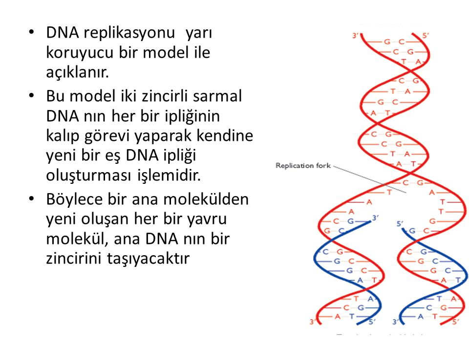 DNA replikasyonu yarı koruyucu bir model ile açıklanır.