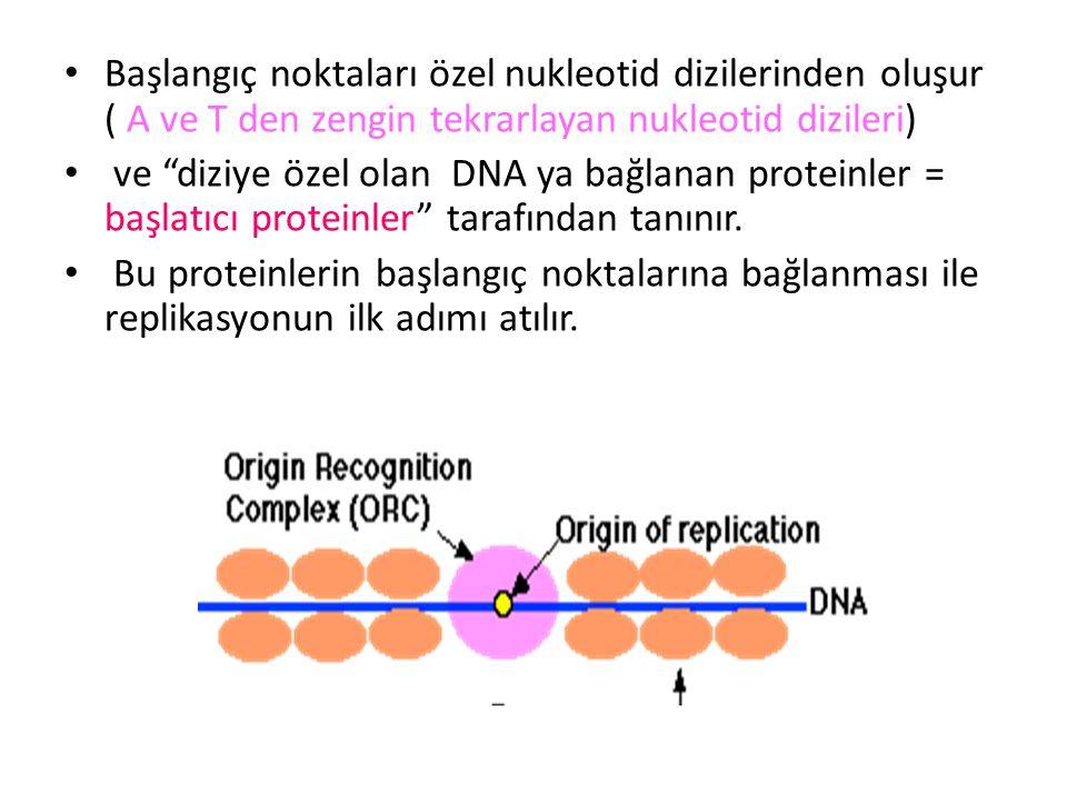Başlangıç noktaları özel nukleotid dizilerinden oluşur ( A ve T den zengin tekrarlayan nukleotid dizileri)