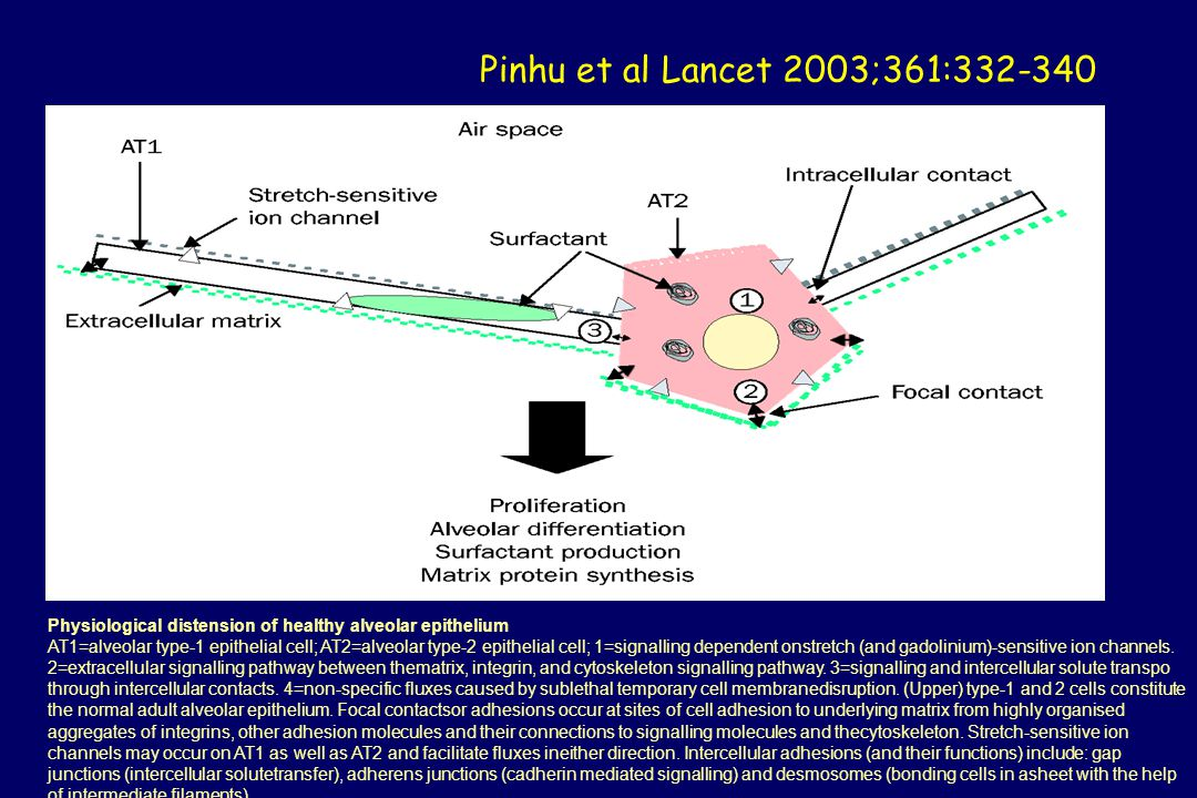 Pinhu et al Lancet 2003;361:332-340 Physiological distension of healthy alveolar epithelium.