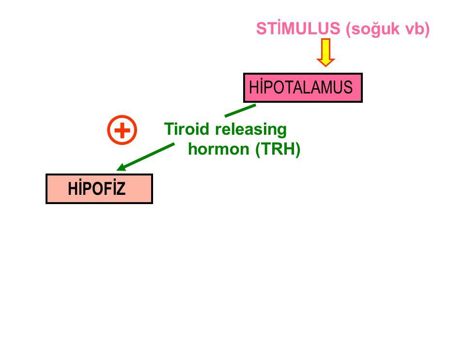 + HİPOTALAMUS HİPOFİZ STİMULUS (soğuk vb) Tiroid releasing