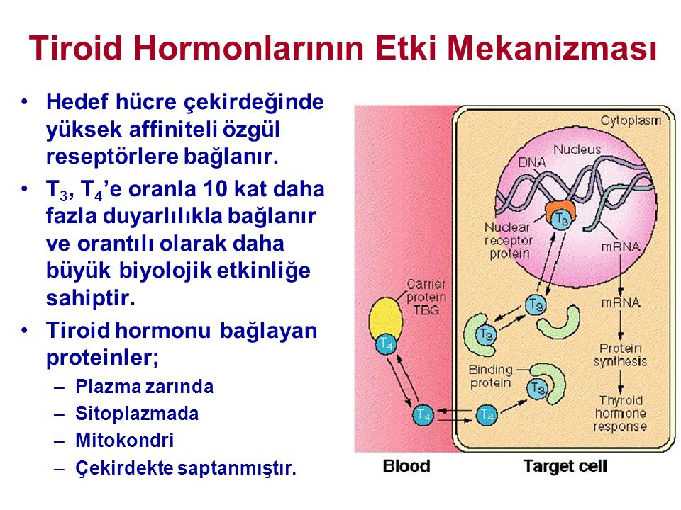 Tiroid Hormonlarının Etki Mekanizması