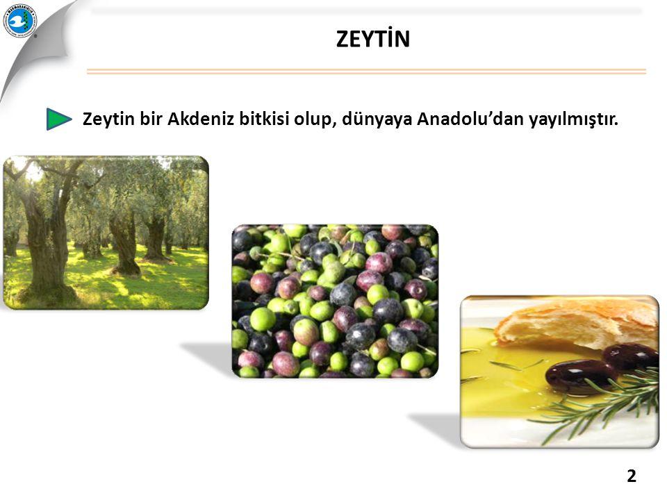 ZEYTİN Zeytin bir Akdeniz bitkisi olup, dünyaya Anadolu'dan yayılmıştır. 2
