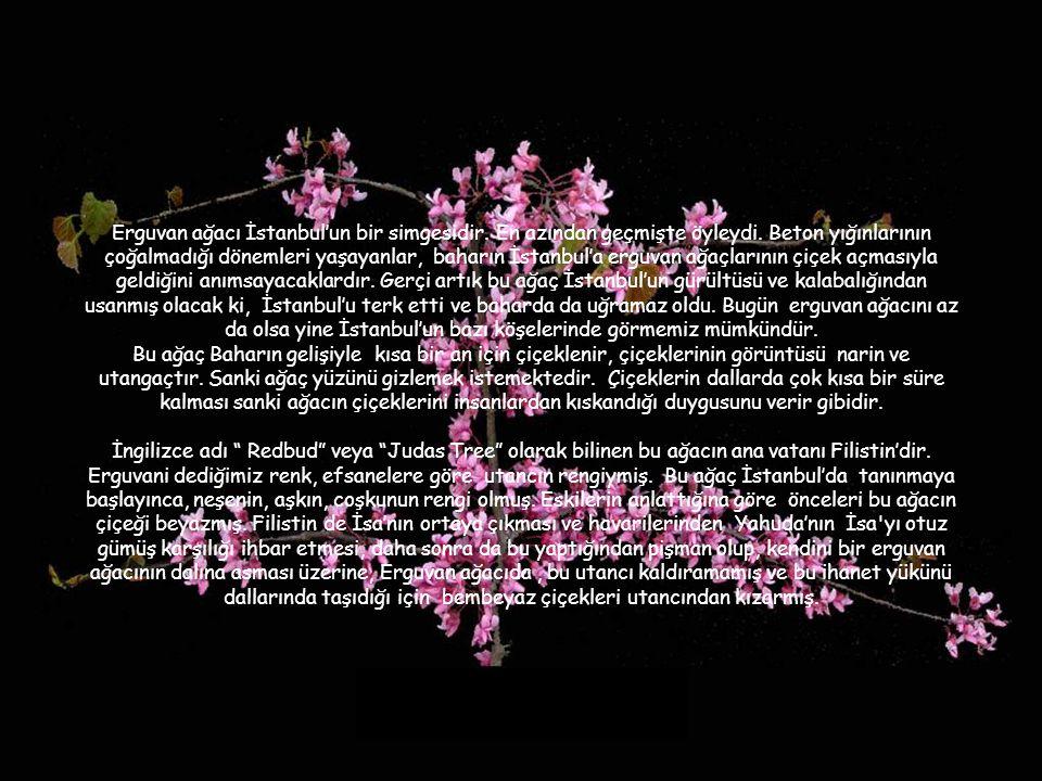 Erguvan ağacı İstanbul'un bir simgesidir. En azından geçmişte öyleydi