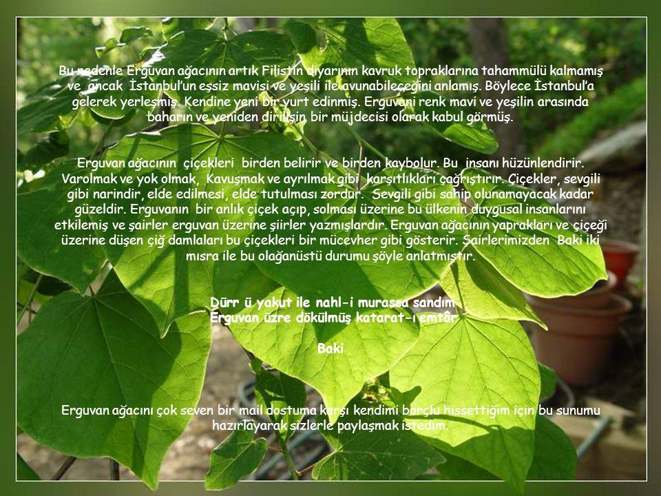 Bu nedenle Erguvan ağacının artık Filistin diyarının kavruk topraklarına tahammülü kalmamış ve ancak İstanbul'un eşsiz mavisi ve yeşili ile avunabileceğini anlamış.