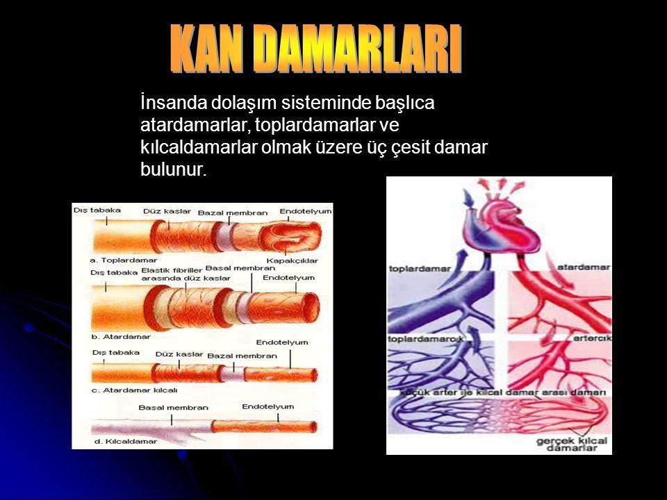 KAN DAMARLARI İnsanda dolaşım sisteminde başlıca atardamarlar, toplardamarlar ve kılcaldamarlar olmak üzere üç çesit damar bulunur.