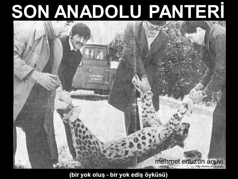 SON ANADOLU PANTERİ (bir yok oluş - bir yok ediş öyküsü)