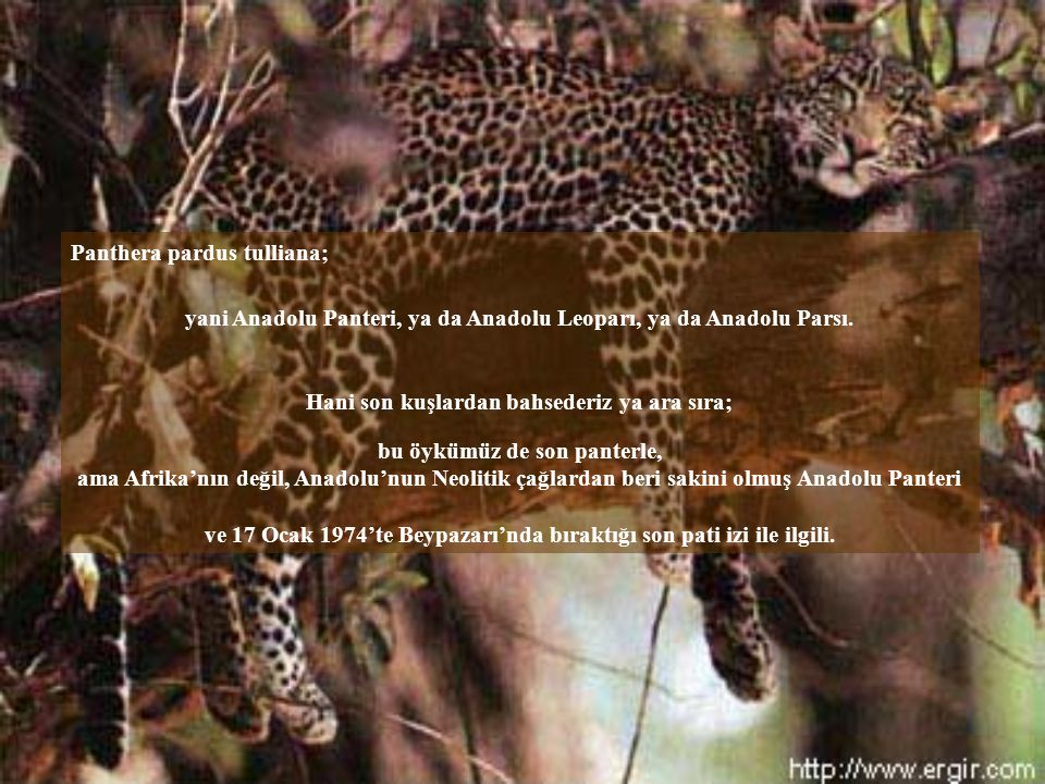 Panthera pardus tulliana;