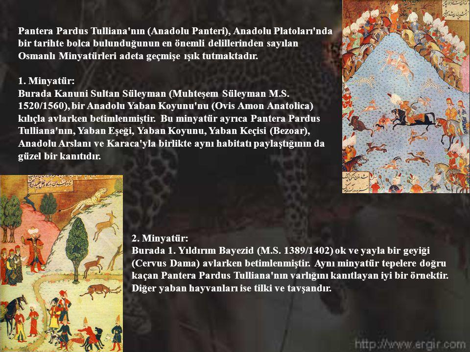 Pantera Pardus Tulliana nın (Anadolu Panteri), Anadolu Platoları nda bir tarihte bolca bulunduğunun en önemli delillerinden sayılan Osmanlı Minyatürleri adeta geçmişe ışık tutmaktadır.