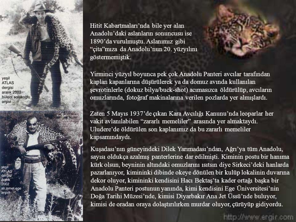 Hitit Kabartmaları'nda bile yer alan Anadolu'daki aslanların sonuncusu ise 1890'da vurulmuştu. Aslanımız gibi çita mıza da Anadolu'nun 20. yüzyılını göstermemiştik.