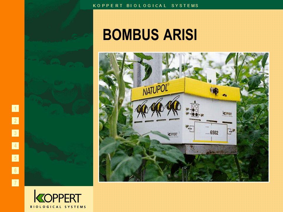 BOMBUS ARISI