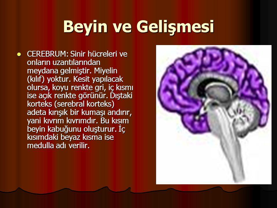 Beyin ve Gelişmesi