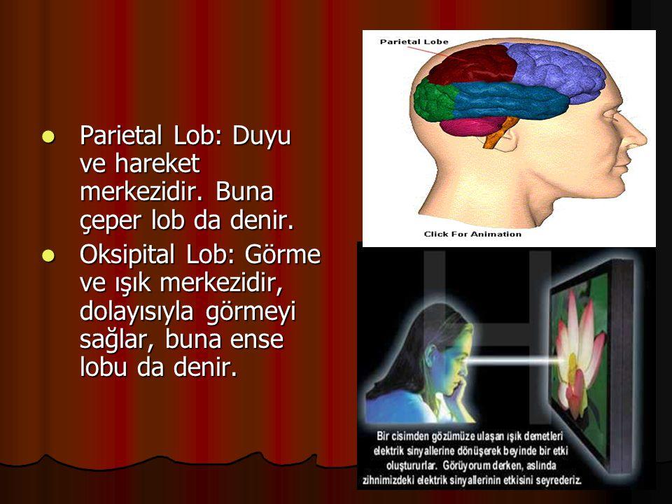 Parietal Lob: Duyu ve hareket merkezidir. Buna çeper lob da denir.