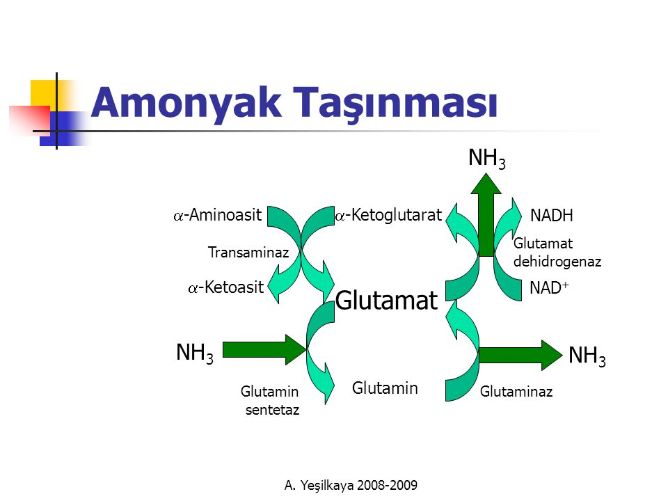Amonyak Taşınması Glutamat NH3 NH3 NH3 a-Aminoasit a-Ketoglutarat NADH