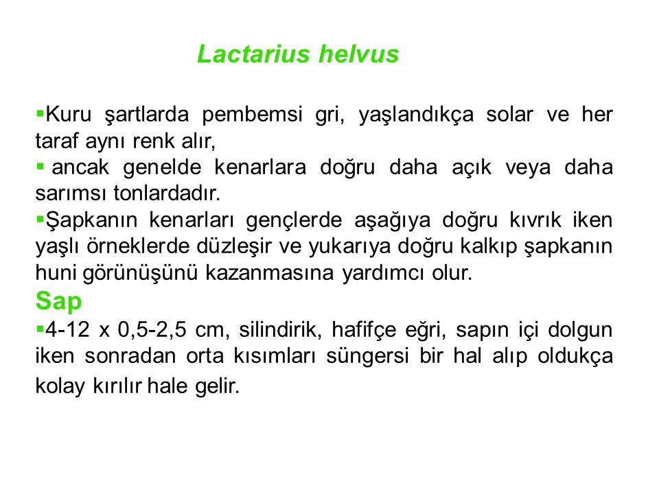 Lactarius helvus Kuru şartlarda pembemsi gri, yaşlandıkça solar ve her taraf aynı renk alır,