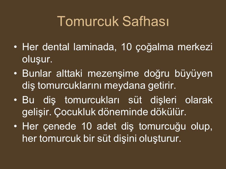 Tomurcuk Safhası Her dental laminada, 10 çoğalma merkezi oluşur.
