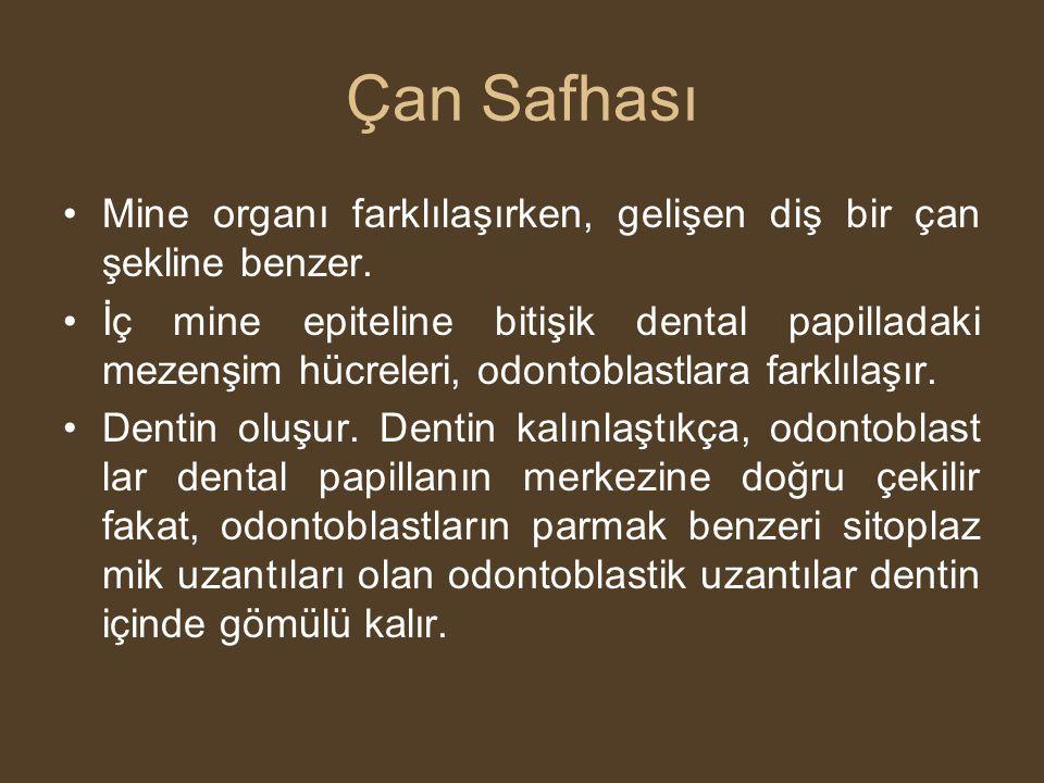 Çan Safhası Mine organı farklılaşırken, gelişen diş bir çan şekline benzer.