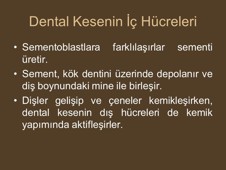 Dental Kesenin İç Hücreleri