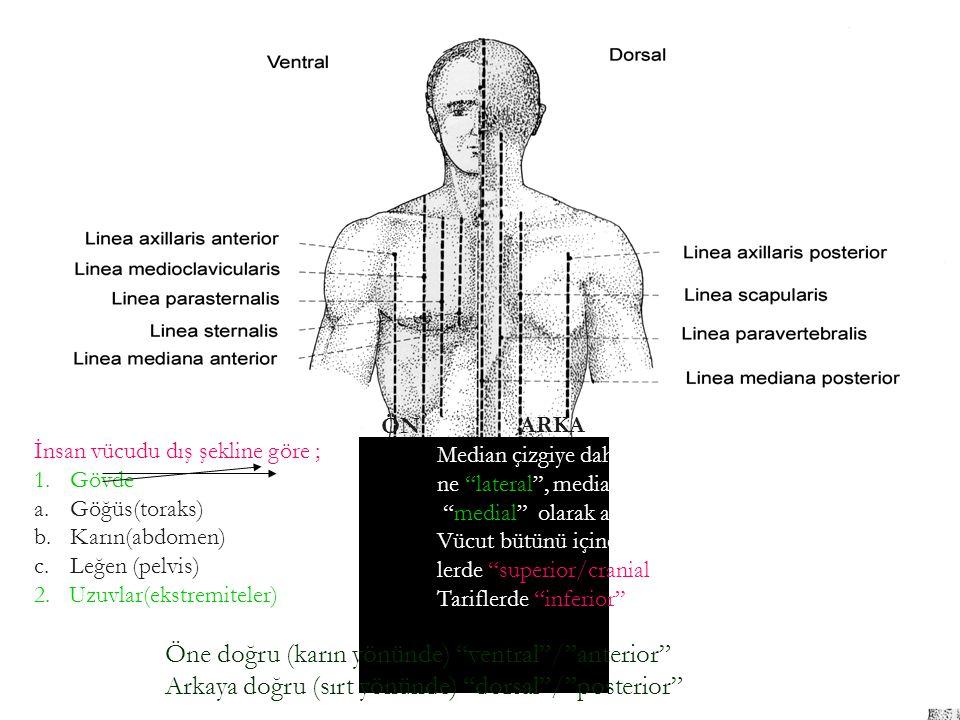 Öne doğru (karın yönünde) ventral / anterior