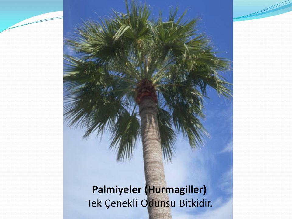 Palmiyeler (Hurmagiller)