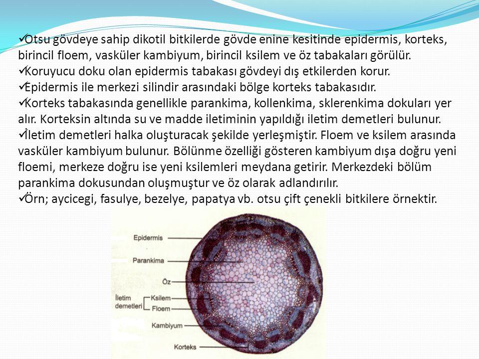Otsu gövdeye sahip dikotil bitkilerde gövde enine kesitinde epidermis, korteks, birincil floem, vasküler kambiyum, birincil ksilem ve öz tabakaları görülür.
