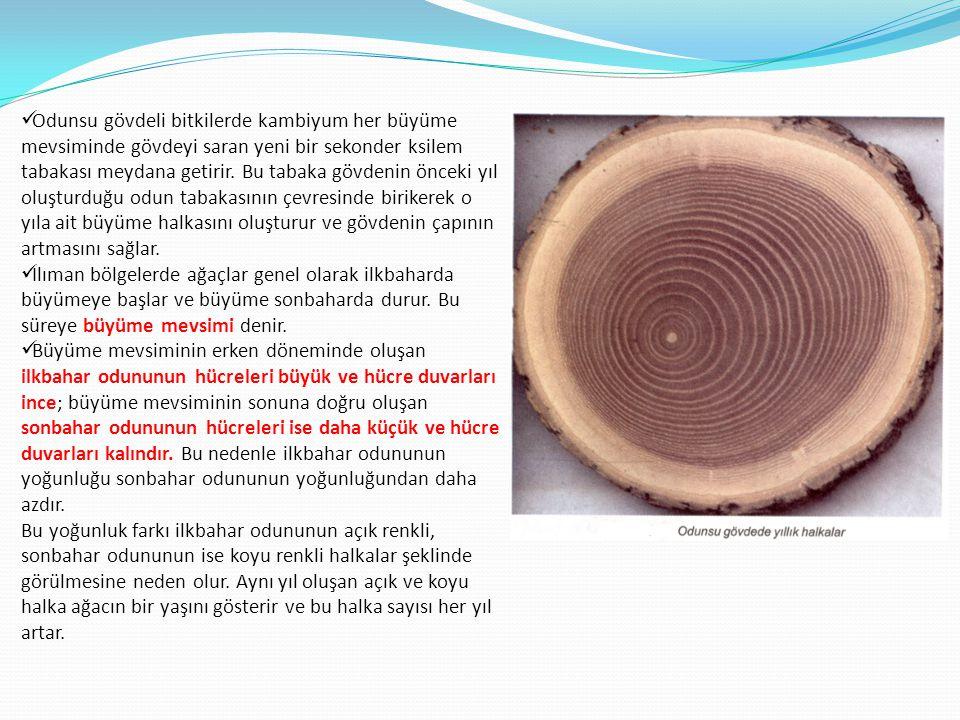 Odunsu gövdeli bitkilerde kambiyum her büyüme mevsiminde gövdeyi saran yeni bir sekonder ksilem tabakası meydana getirir. Bu tabaka gövdenin önceki yıl oluşturduğu odun tabakasının çevresinde birikerek o yıla ait büyüme halkasını oluşturur ve gövdenin çapının artmasını sağlar.