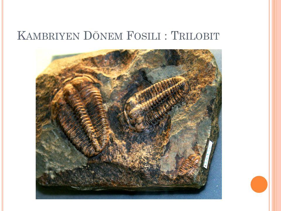 Kambriyen Dönem Fosili : Trilobit